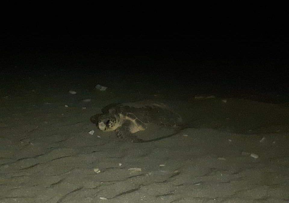Turtle in Sougia Beach Taxi Vittorakis